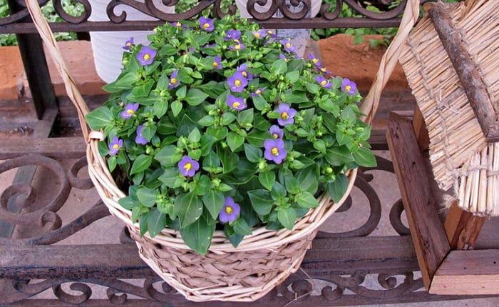 Violeta de persa en el hogar