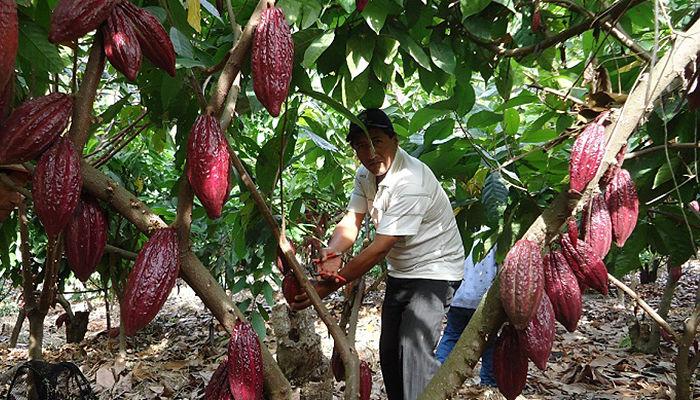 Cosecha de cacaotero