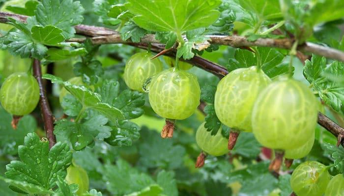 Grosella Espinosa: Origen, Descripción, Cultivo, Usos, Beneficios Y Más