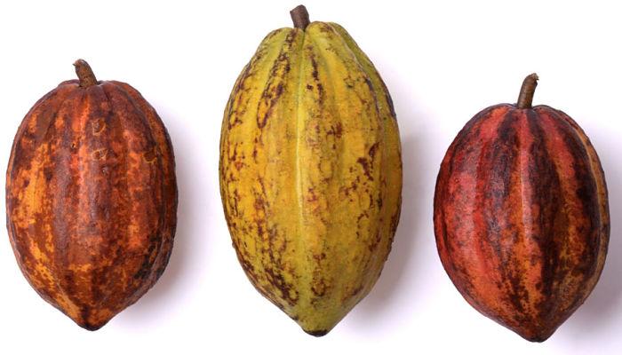 Variedades y tipos de cacaotero