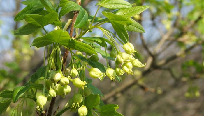 planta casi extintas Acer Monspessulanum