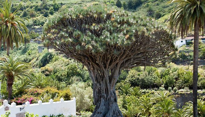 Dracaena tamaranae planta prehistorica
