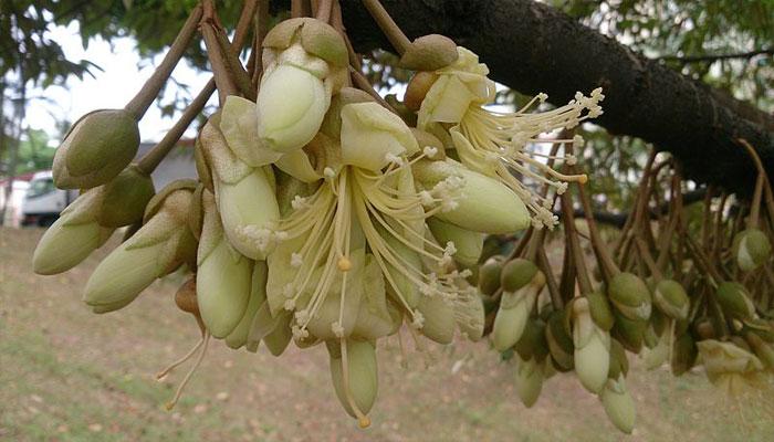 Planta que abre sus flores de noce