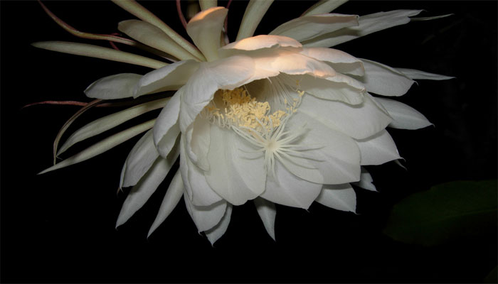 Planta que florece de noche