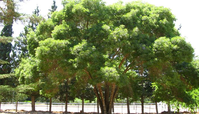 plantas en peligro Fraxinus angustifolia
