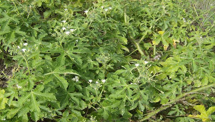 planta urticante