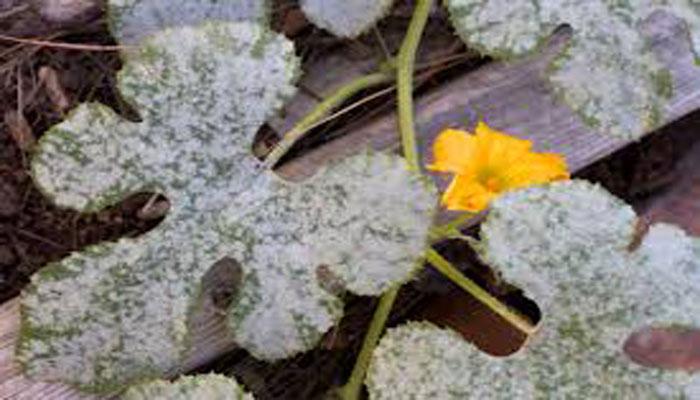 hongos causantes de enfermedades en las plantas