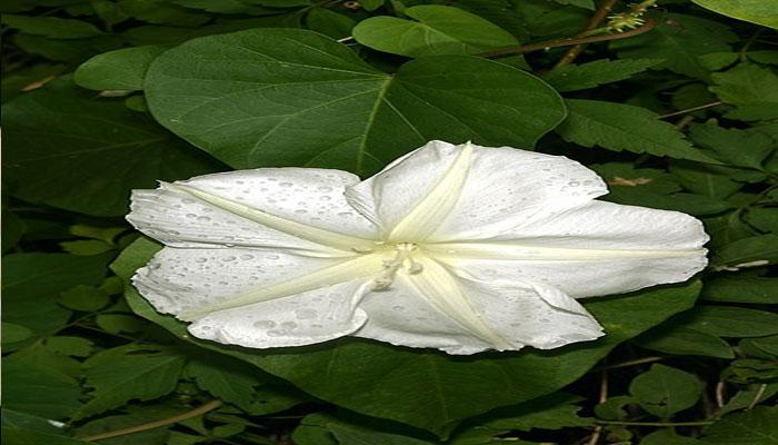 Planta que florece cuando es de noche