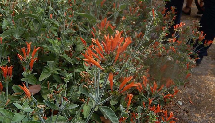 Arbosto con flores naranjas Jacobinia suberecta