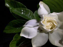 planta con flores para adornar tu cocina Jazmin Blanco