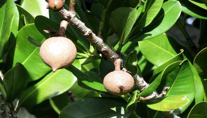 Plantas con Frutas dulce que se reproducen con semillas