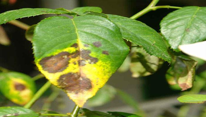 hongos que enferman las plantas