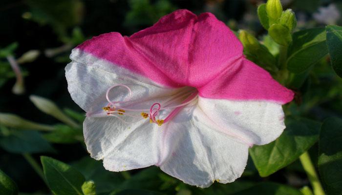 Planta que florece por la noche