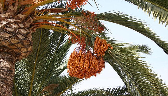 Arbol de Frutos que sirven para la Tos