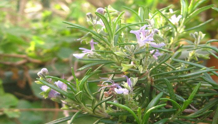 planta oxigenante