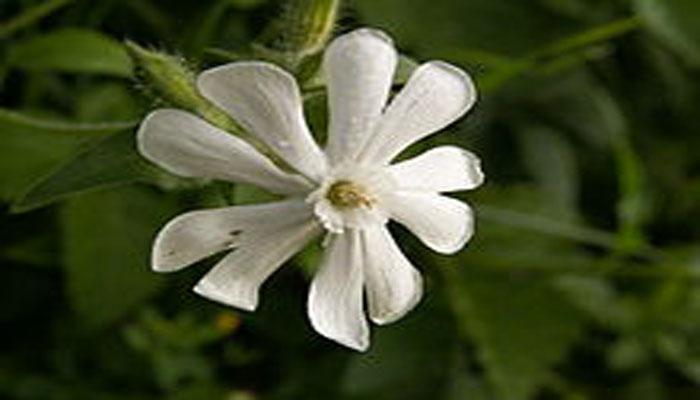 Planta que florece en la noche