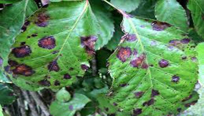 enfermedad de la planta