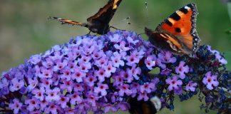 Arbusto de mariposas