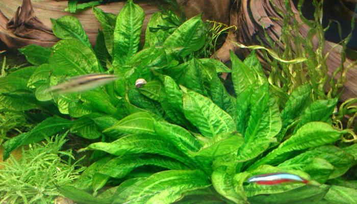 Planta tropical para acuario