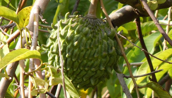fruta con cardos que se reproduce con semilla
