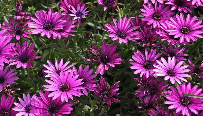 plantas de flores moradas