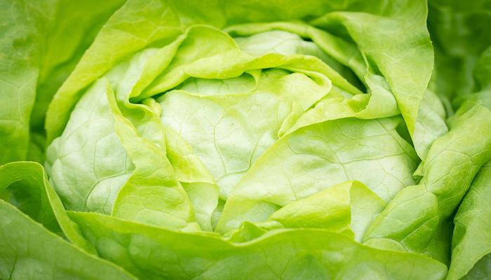 Lechuga planta para ensalada nutritiva