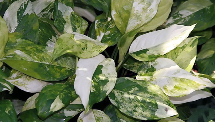 hojas de colores Aglaonema modestum