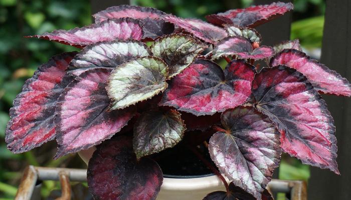 Begonia rex de hojas purpuras