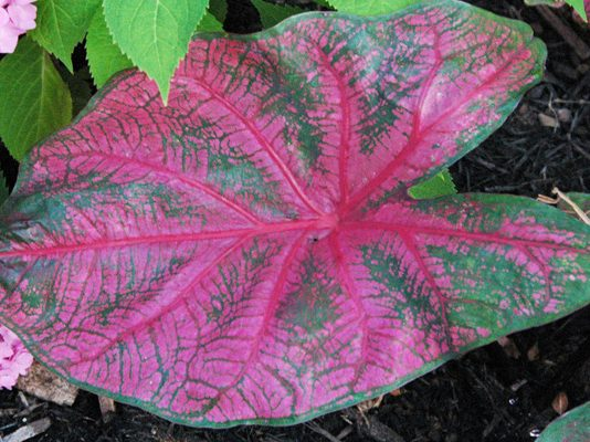 Caladium X hortulanum de hojas moradas