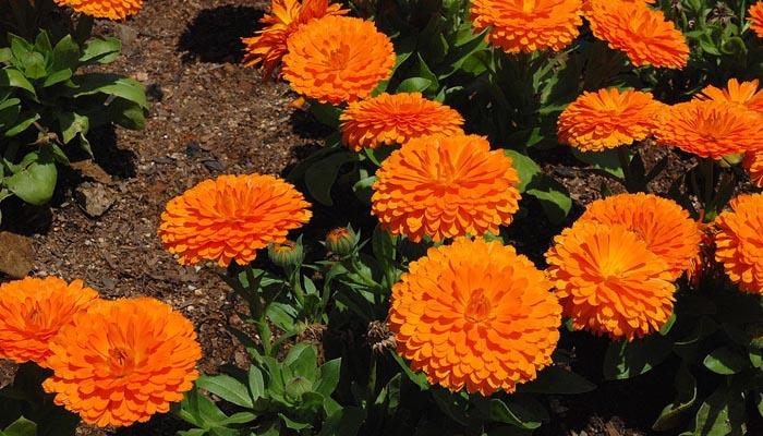 flor naranaja de verano