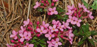 planta que florece en diciembre