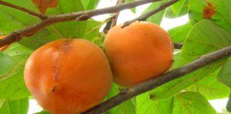 planta que se reproduce por injerto