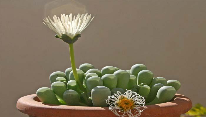 planta para mini macetas