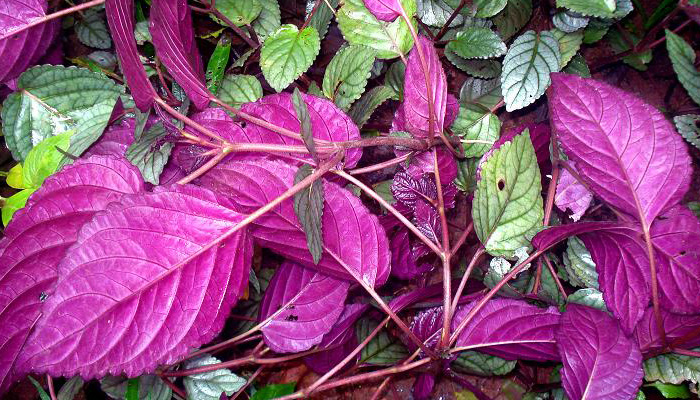 planta de hojas moradas Hemigraphis colorata