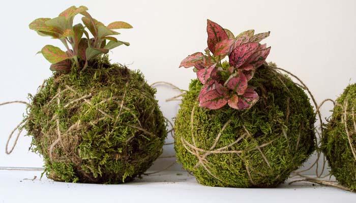 Planta de Lunares (Hypoestes phyllostachya)