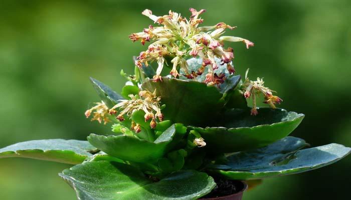 Kalanchoe en flor (Kalanchoe blossfeldiana)