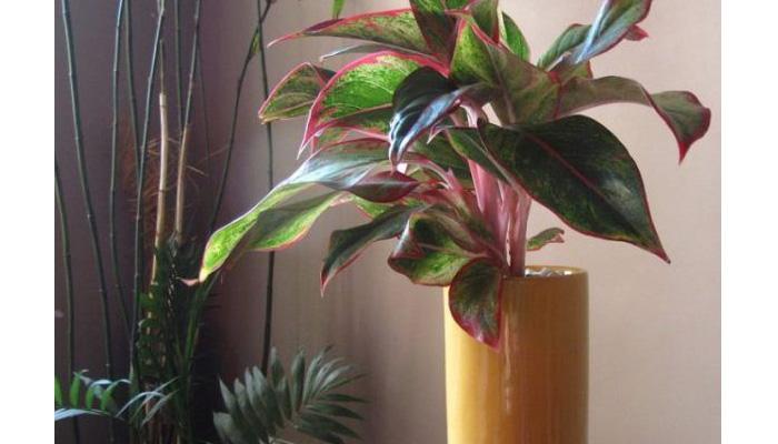 Aglaonema plantas de hojas moradas