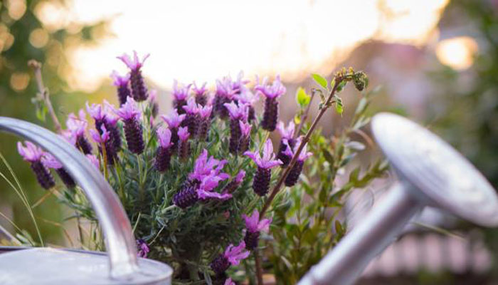 Lavanda planta aromatica para exteriores