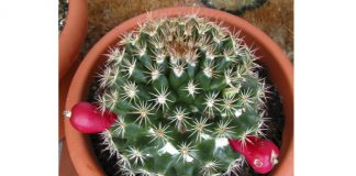 planta espinoza