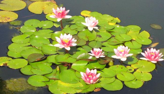 plantas acuaticas para regalar