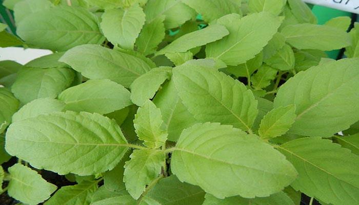 planta oxígenante