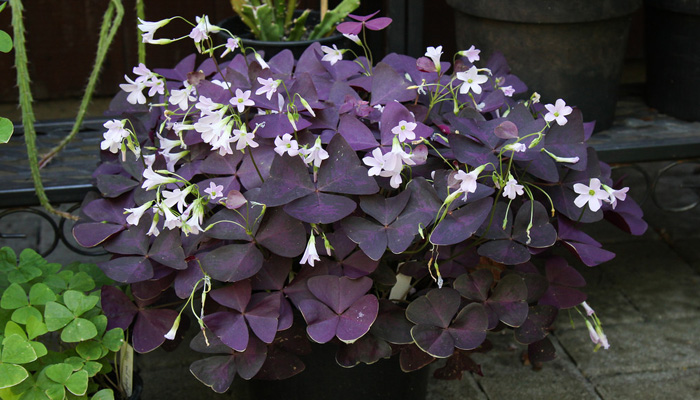 Oxalis triangularis plantas con hojas de color morado