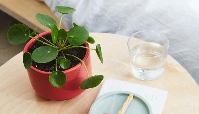 planta de la para macetas pequeñas