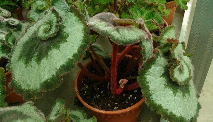 Rex Begonia con hojas de colores