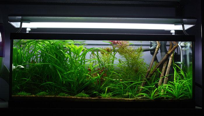Planta para oxigenar el agua de tus peces
