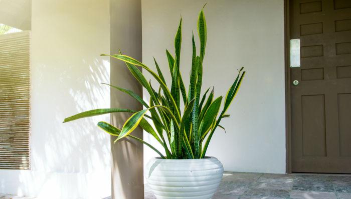 Sansevieria trifasciata planta de oficina