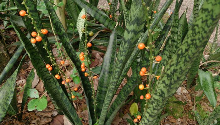Sansevieria (Planta Serpiente) planta para decorar habitaciones