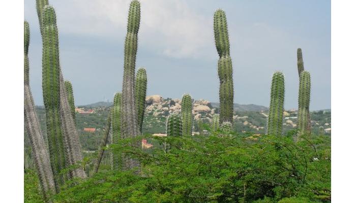 cactus con frutas