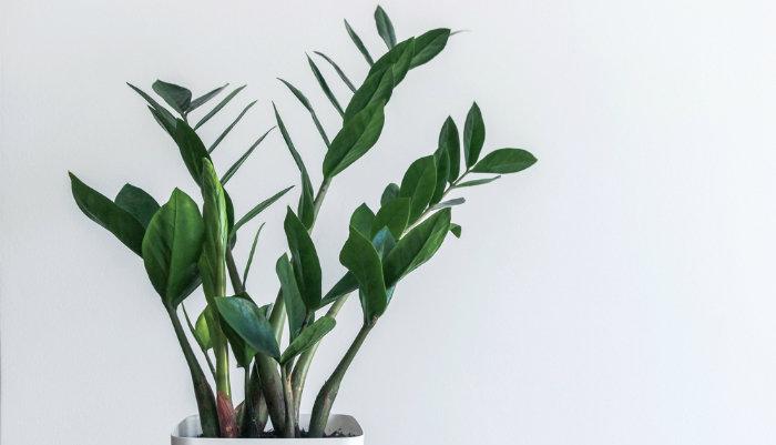 planta de oficina Zamioculcas zamiifolia