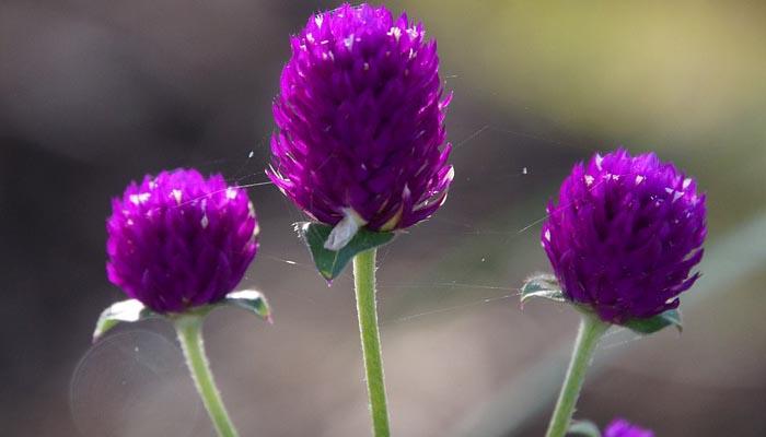 planta para verano decorativa